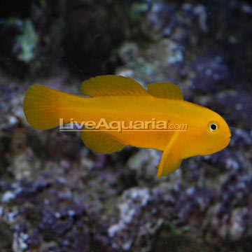 p-90164-clown-yellow-goby.jpg