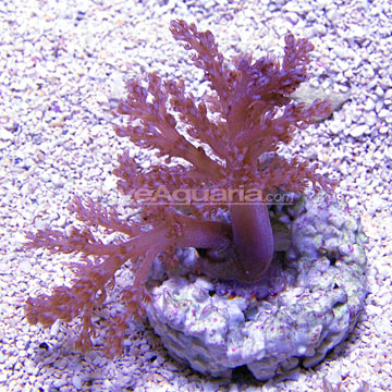 p-91986-kenya-tree-coral-ORA.jpg