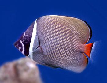 pakistani-butterfly-fish.jpg