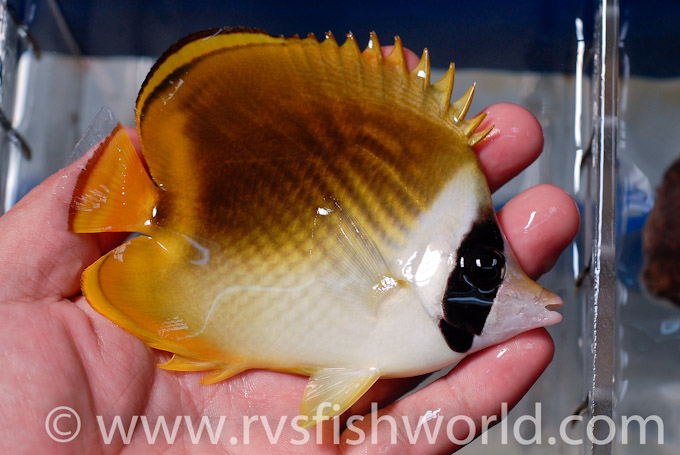 panda-raccoon-butterflyfish-hybrid-1.jpg