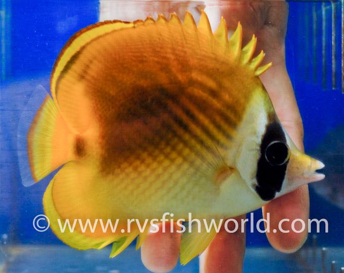 panda-raccoon-butterflyfish-hybrid-2.jpg