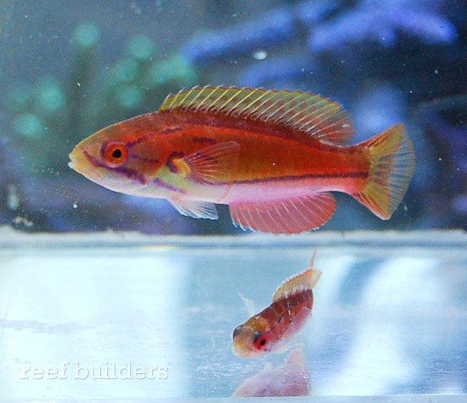 paracheilinus-piscilineatus-2.jpg