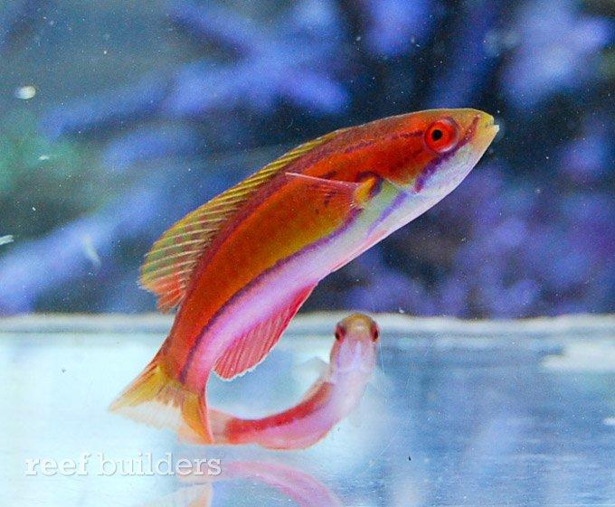 paracheilinus-piscilineatus.jpg