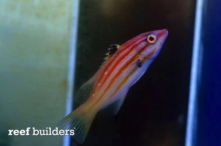 paraleucosticticus-hogfish.jpg