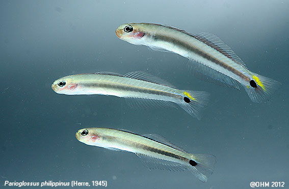 Parioglossus-philippinus-dartfish.jpg
