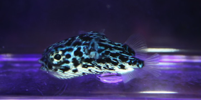 pelagic-porcupinefish.png