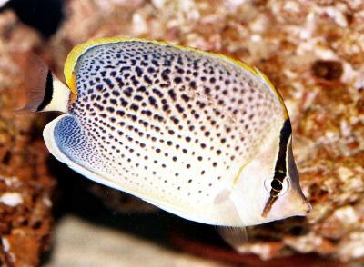 PepperedButterflyfishWMBu_Ap15AD.jpg