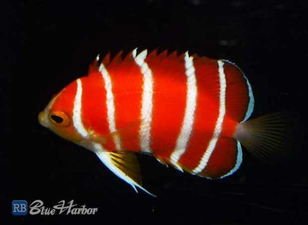 peppermint-angelfish-0.jpg