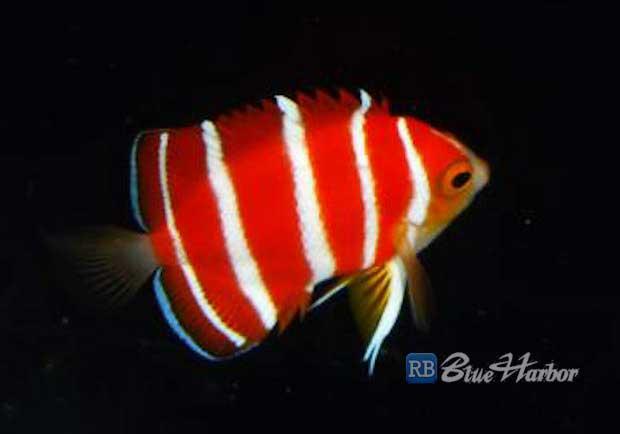 peppermint-angelfish-2.jpg