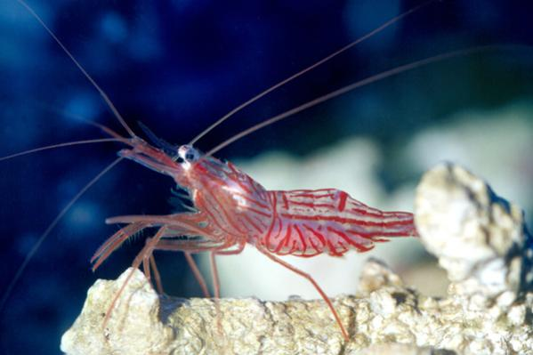 Peppermint-Shrimp.jpg