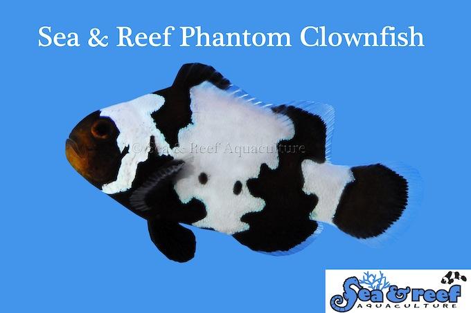 phantom-clownfish.jpg