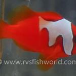 phantom-tomato-clownfish-150x150.jpg