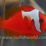 phantom-tomato-clownfish-2-150x150.jpg