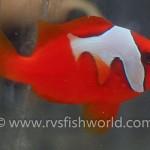 phantom-tomato-clownfish-3-150x150.jpg