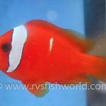 phantom-tomato-clownfish-4-150x150.jpg