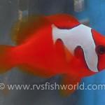 phantom-tomato-clownfish-5-150x150.jpg