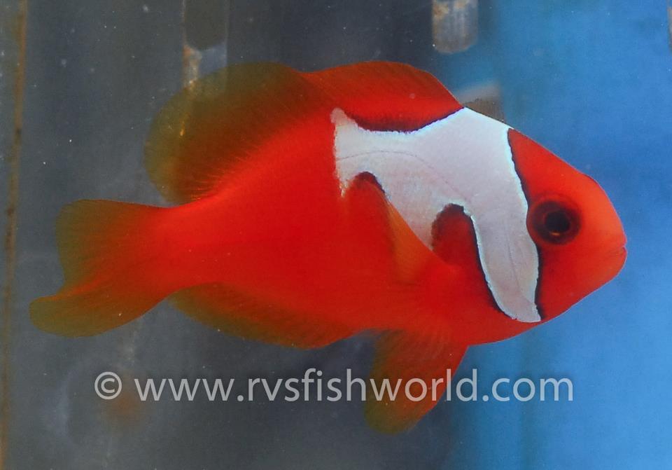 phantom-tomato-clownfish-5.jpg