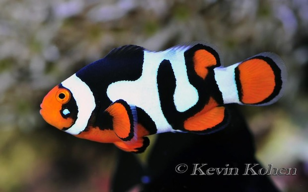 picasso-clownfish-2.jpg