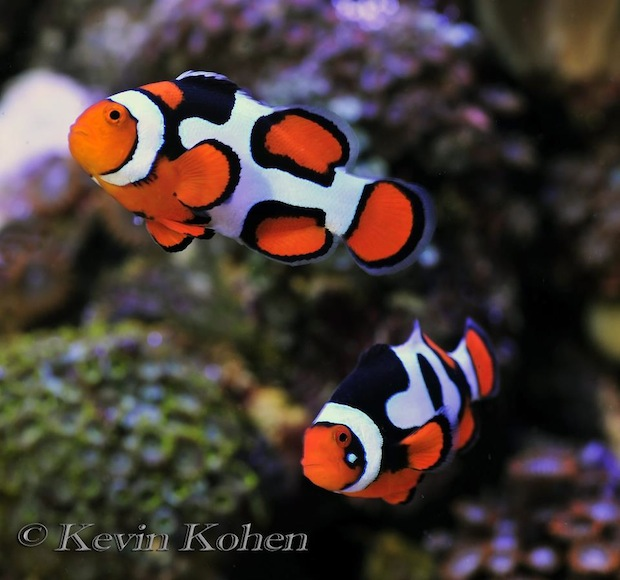 picasso-clownfish.jpg