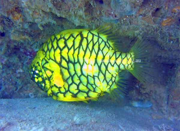pineapple-fish-.jpg