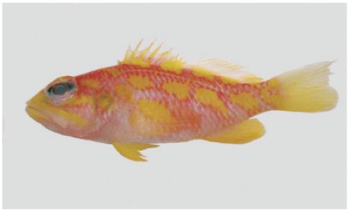 Plectranthias-xanthomaculatus.png
