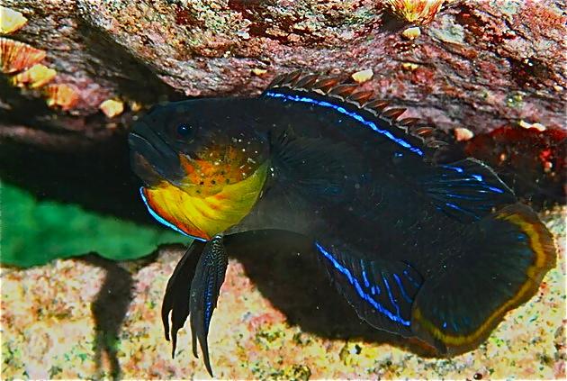plesiops-coerulineatus3.jpg