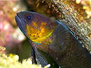 plesiops-coerulineatus5-300x225.jpg