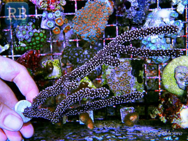 Plexaurella-1.jpg