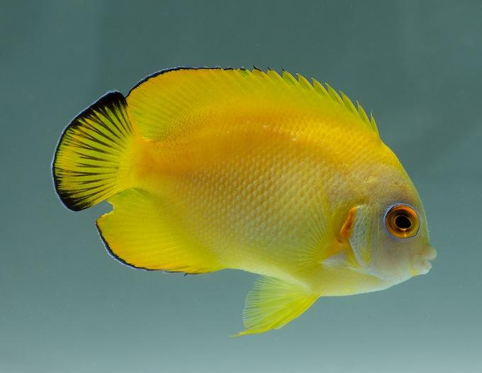 png-hybrid-lemonpeel-angelfish.jpg