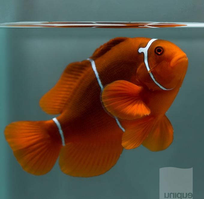 png-maroon-clownfish.jpg