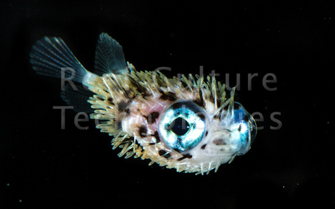 porcupinefish-baby.png
