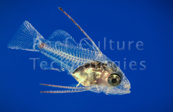 postflexion-grouper-larvae.png
