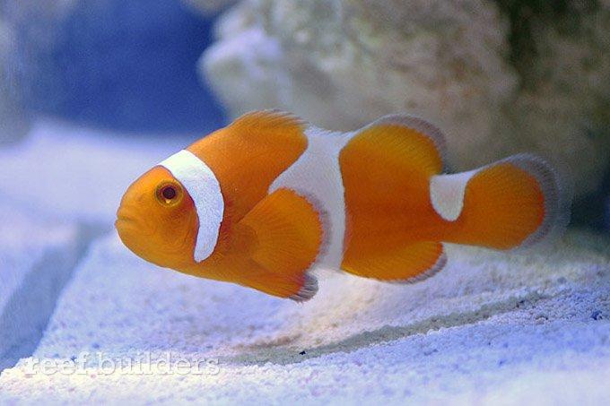 proaquatix-tangerine-clownfish-1.jpg