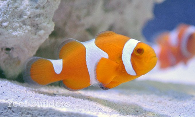 proaquatix-tangerine-clownfish-3.jpg