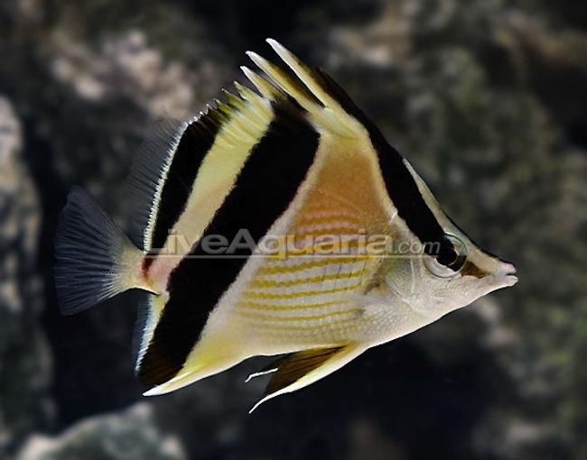 Prognathodes-guyanensis.jpg