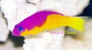 Pseudochromis-diadema3-300x165.jpg