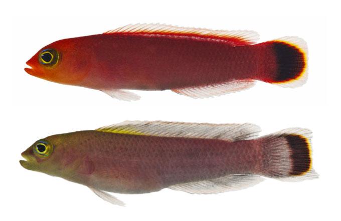 Pseudochromis-fuligifinis.jpg