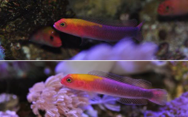 Pseudochromis-rosae.png