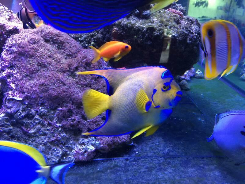 queen angel fish.jpg
