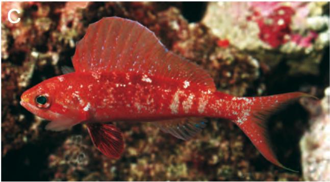 rabaulichthys-squirei.png