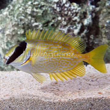rabbitfish.jpg