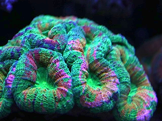 rainbow-lobophyllia-2.jpg