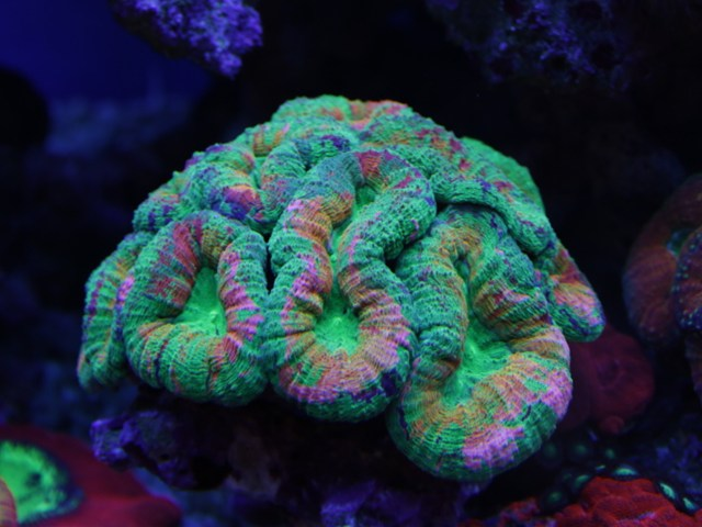 rainbow-lobophyllia.jpg