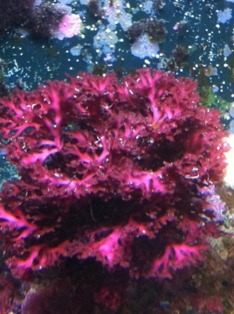 Red Algae.jpg