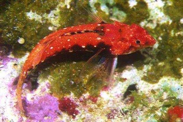 red-back-dragonet1.jpg