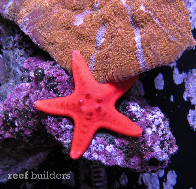 red-chocolate-chip-starfish-1.jpg