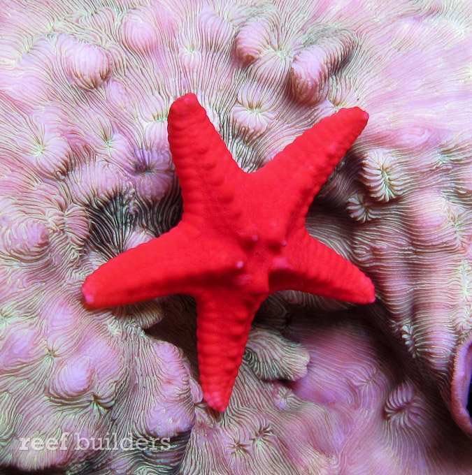 red-chocolate-chip-starfish-2.jpg
