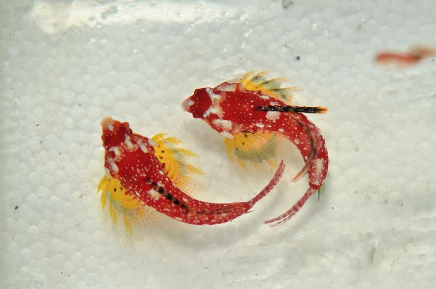 Red-dragonet-1.png