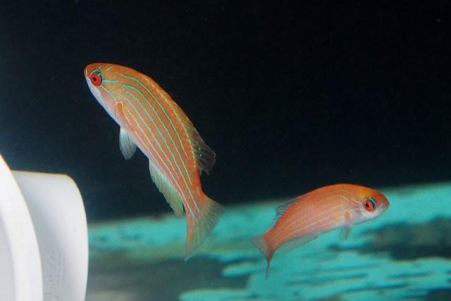 red-sea-flasher-wrasse.jpg