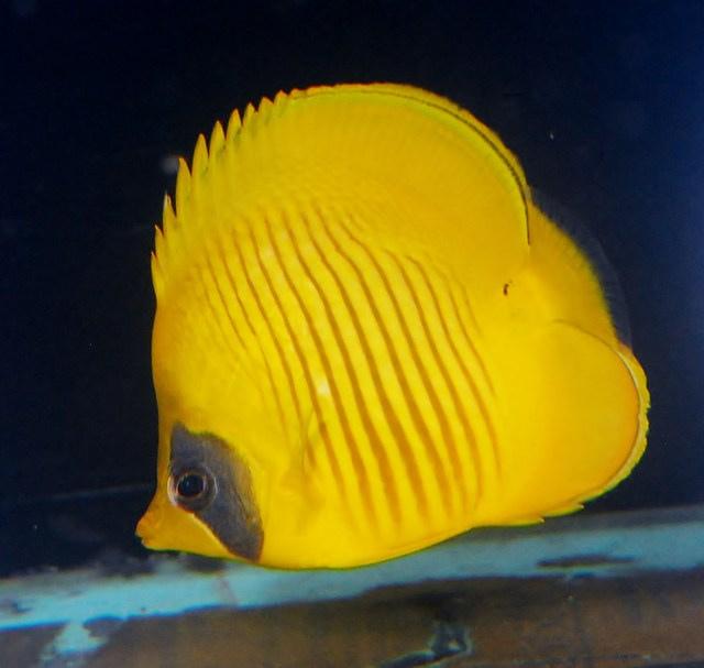 red-sea-golden-butterflyfish.jpg